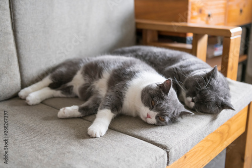 Wallpaper Mural Two british shorthair cats sleeping on the couch