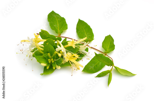 Fotografiet Lonicera japonica, known as Japanese honeysuckle and golden-and-silver honeysuckle