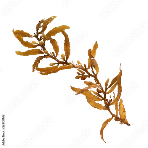 Fototapeta Close-up of Sargassum, showing the air bladders that help it stay afloat