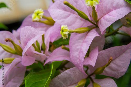 Pink purple bougainvillaea flower macro shot Fototapete