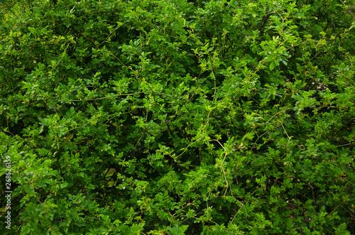 Canvastavla Green bush wall background