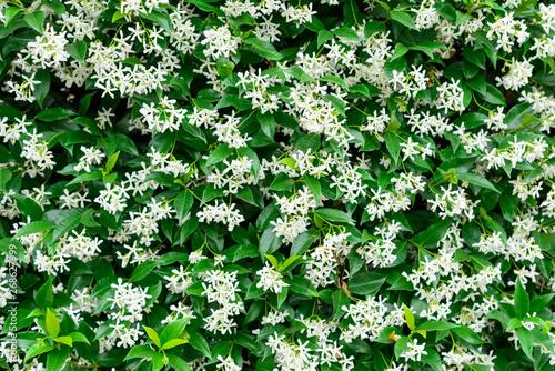 Photo Wall of Chinese star jasmine flowers (Trachelospermum jasminoides) in bloom