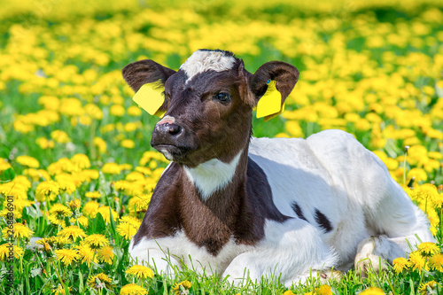 Fotografia Portrait of newborn calf lying in pasture with dandelions