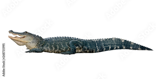 Stampa su Tela American alligator on white background