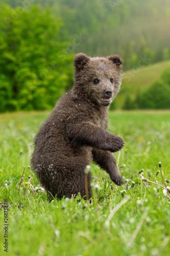 Brown bear cub playing on the summer field Fototapeta