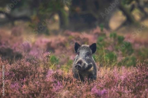 Obraz na plátne Wild boar in blooming heather