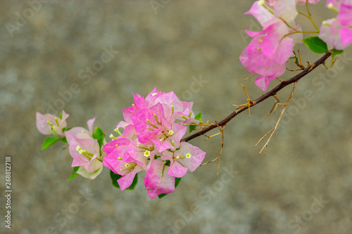 Canvas Print colorful blooming bougainvilleas in garden.
