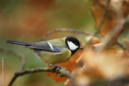 Fototapeta The great tit (Parus major) is the largest of the tits and is found throughout E