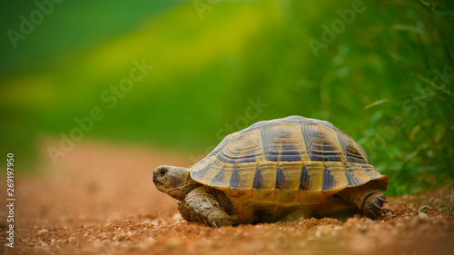 Photo red soil and green grass; baby turtle