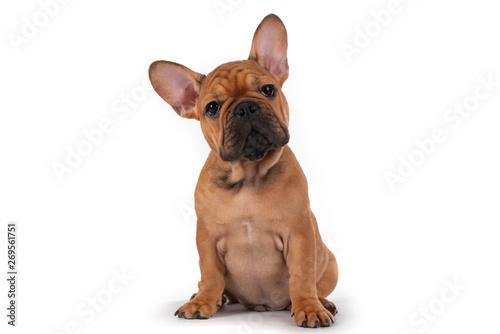 Fotografia french bulldog puppy on white isolated background