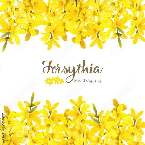 Forsythia suspensa, fluffy blossoming yellow spring tree card template Fototapeta