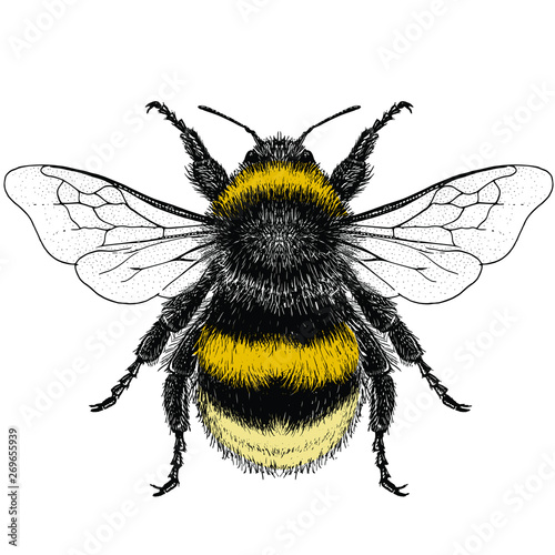 Canvas Illustration of a Female Buff-Tailed Bumblebee