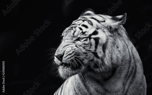 Canvas Print tiger in zoo white tiger