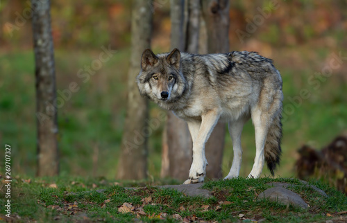 A lone Timber wolf or Grey Wolf Canis lupus on top of a rock looks back on an autumn day in Canada