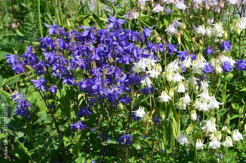 Fotografia Allgemeine Gartenakelei blau weiss - aquilegia vulgaris