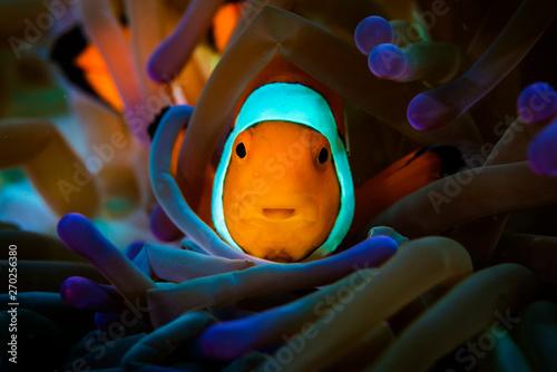 Fotografija A beautiful clown fish on the reef with an anemone