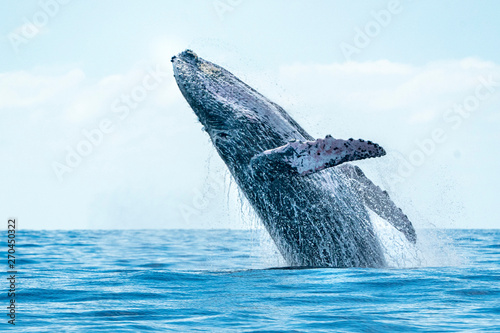 Wallpaper Mural humpback whale breaching in cabo san lucas