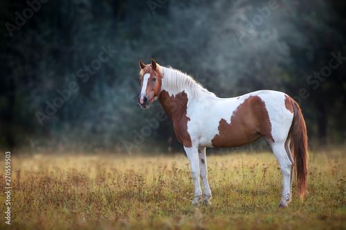Obraz na plátně Piebald  horse standing in fog meadow
