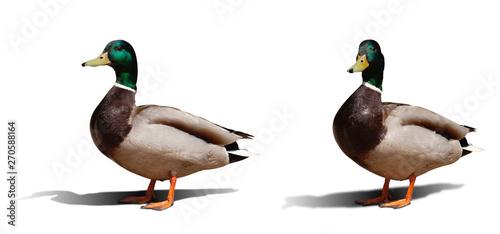 Stampa su Tela beautiful duck isolated on white background. set