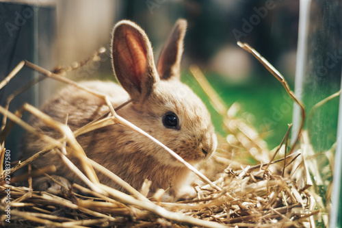 Fotografia Beautiful young brown rabbit on a straw, hay, background.
