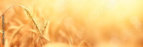 Sunny golden wheat field, ears of wheat close up background Fototapeta