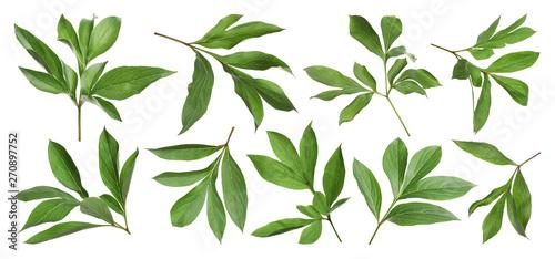 Fotografia Set of fresh green peony leaves on white background