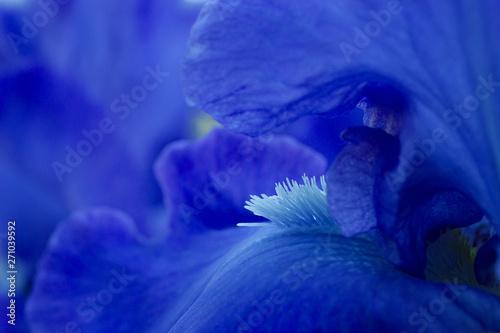 Canvas Print Bright blue iris flowers close up view macro