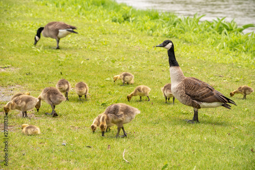 Fototapeta Adult Canadian goose looking after many goslings