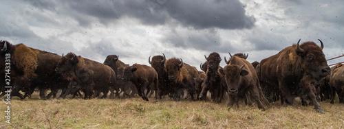 Fotografie, Obraz bison