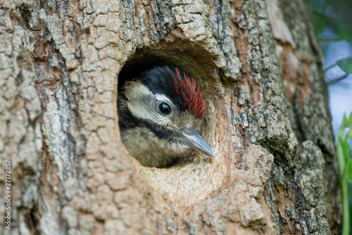 Foto Great spotted woodpecker chick in the nest (Dendrocopos major)