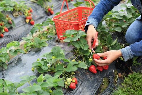 Fotografia People picking strawberry in garden