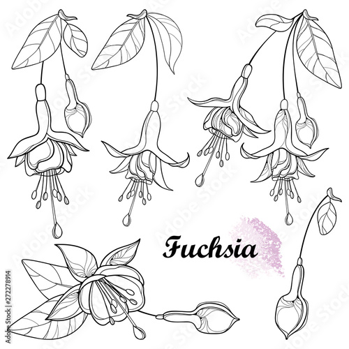 Obraz na plátně Set with outline Fuchsia ornate flower bunch, bud and leaf in black isolated on white background