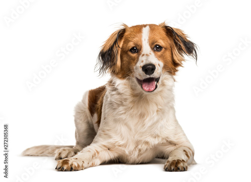 Fototapeta Mixed-breed dog looking at camera against white background