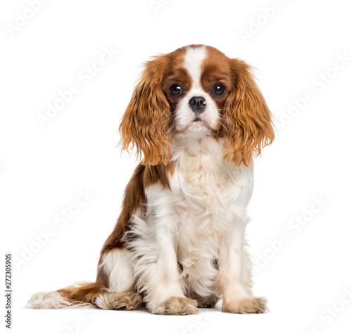 Valokuva Puppy Cavalier King Charles Spaniel, dog