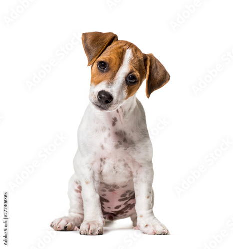 Fototapeta Two months old puppy Jack Russell terrier dog sitting against wh