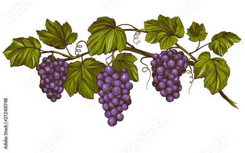 Canvas-taulu grape vine, grape, color hand drawn vector illustration realistic sketch