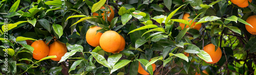 Obraz na plátne orange fruit on the trees