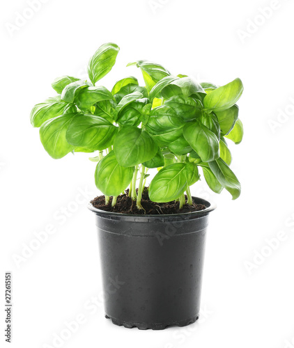 Photographie Fresh basil in pot on white background