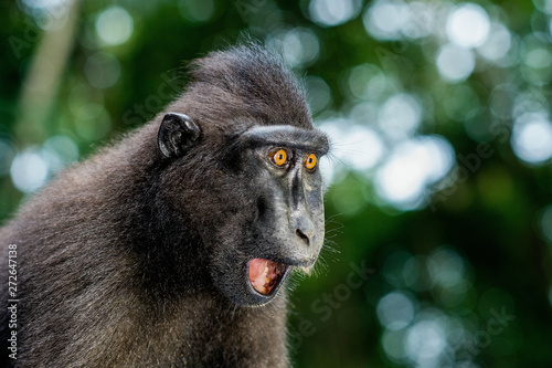 The Celebes crested macaque with open mouth. Crested black macaque, Sulawesi crested macaque, or the black ape. Natural habitat. Sulawesi Island. Indonesia.