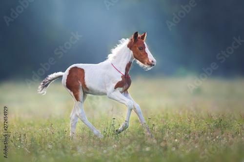 Canvas Print Piebald foal run gallop on meadow