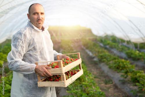 Obraz na płótnie Strawberry grower working in strawberries greenhouse