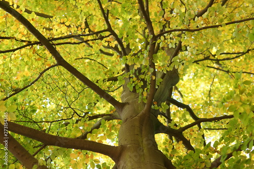 Tablou Canvas Beech tree crown treetop - concept Nature - low angle shot