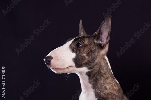 Canvas Print Dog breed mini bull terrier portrait on a black background in profile