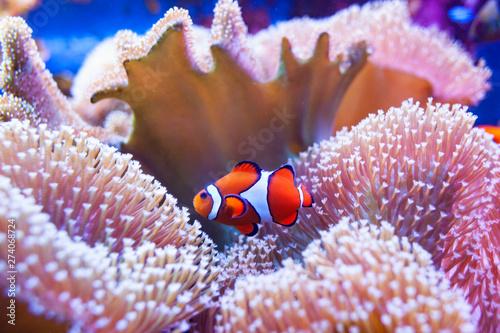 Fotografía Clown fish swimming in the corals.