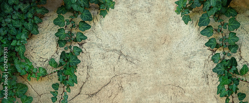 Stampa su Tela ivy leaves on old grunge stone wall