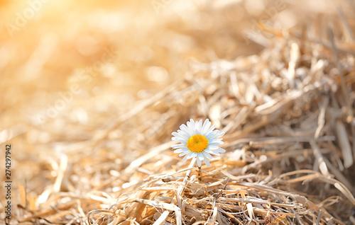 Yellow dry straw hay with white daisy flowers Fototapet