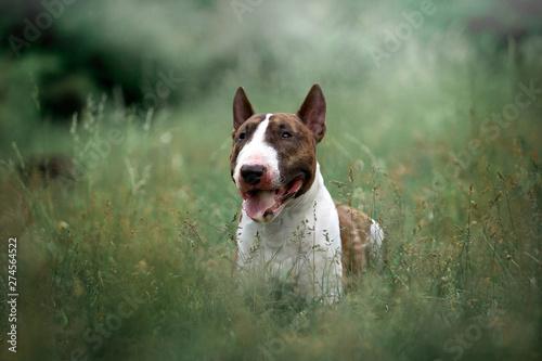 Fotografie, Obraz Beautiful dog breed bull terrier on nature