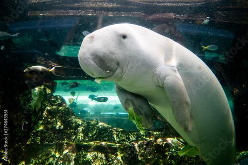 Cuadros en Lienzo Cute dugong having lunch looking at camera
