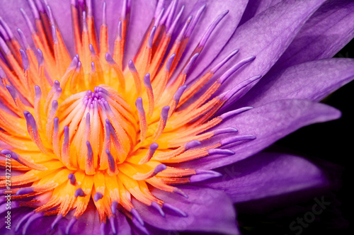 Fotografia Purple Water Lily, Purple Lotus macro shot showing pistil and stamen isolated on