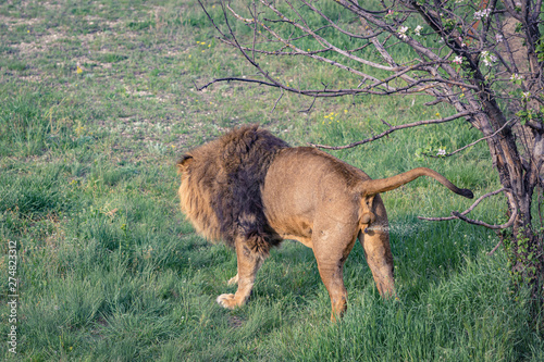 Photo Young male lion marks territory by urination